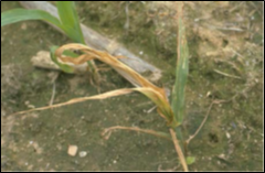 Anthracnose in corn