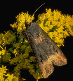 Black cutworm moth