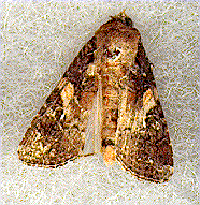 Fall amyworm moth