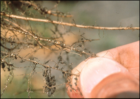 Soybean Cyst Nematode on roots