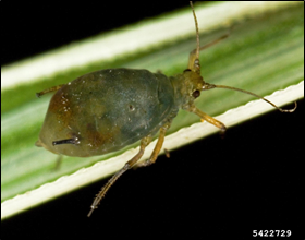 Oat bird-cherry aphid