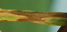 Septoria tritici on wheat