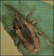 adult alfalfa weevil