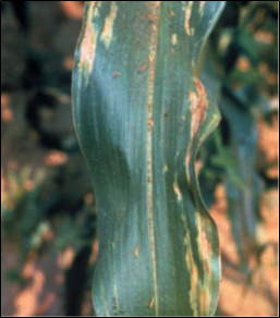 Bacterial Wilt in Corn