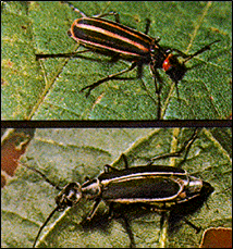 Striped blister beetle and margined blister beetle.