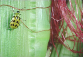 Southern corn rootworm beetle