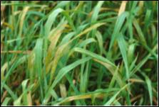 Soilborne Wheat Mosaic Virus