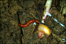 Wireworm