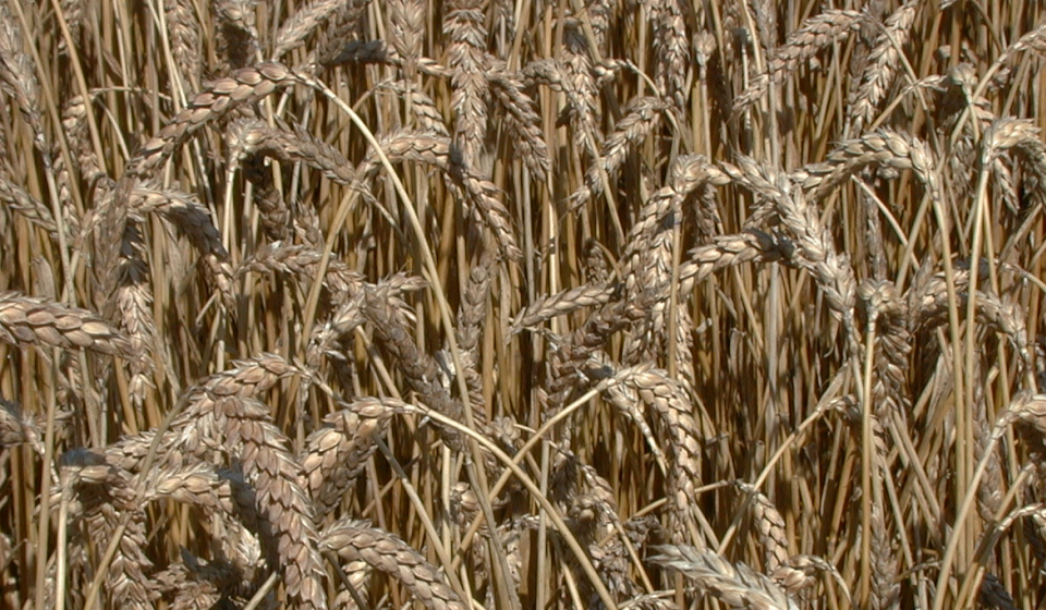 Grain Crops Update