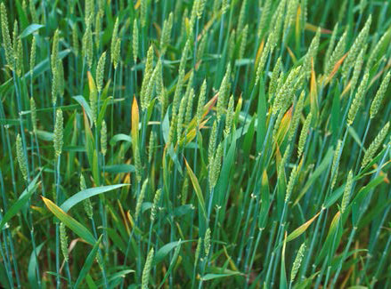 Barley Yellow Dwarf Virus in Wheat | Integrated Pest Management Programs