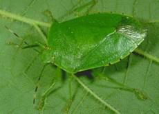 Green Stinkbug