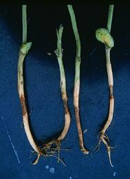Seedling Blight in Soybeans