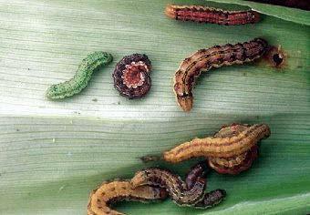 Soybean Podworms