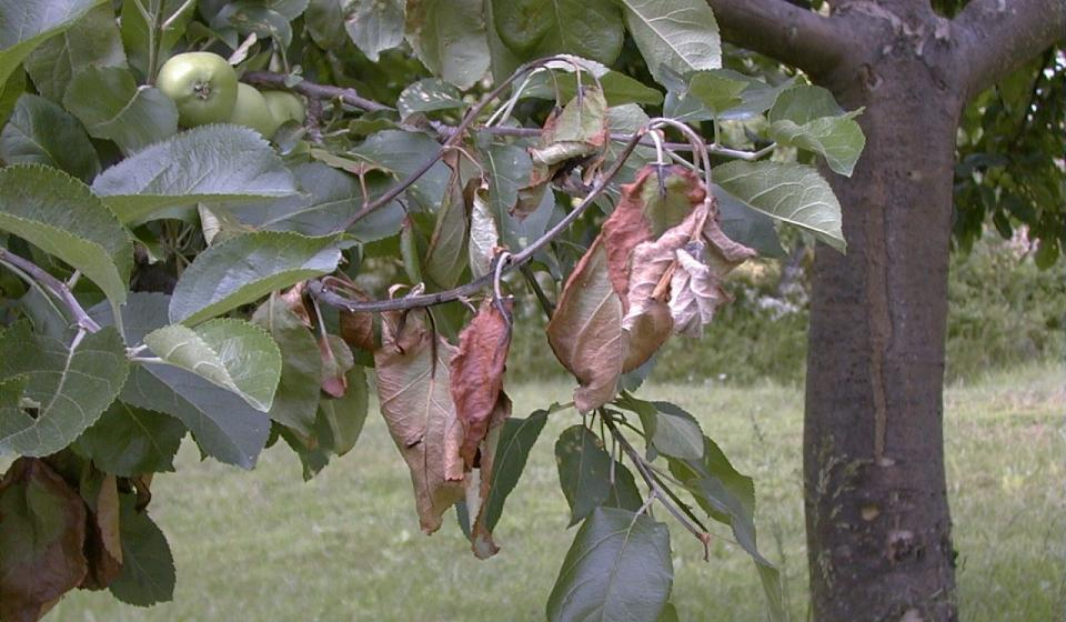 fire blight on apple tree